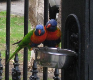 rosellas-chatting