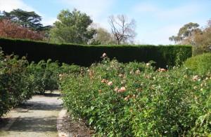 rose-garden-St-Kilda Botanical Gardens