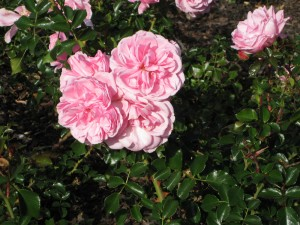 rose-St-Kilda-Botanical-Gardens