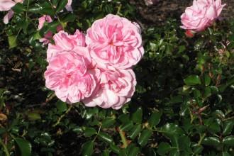 rose-st-kilda-botanical-gar1
