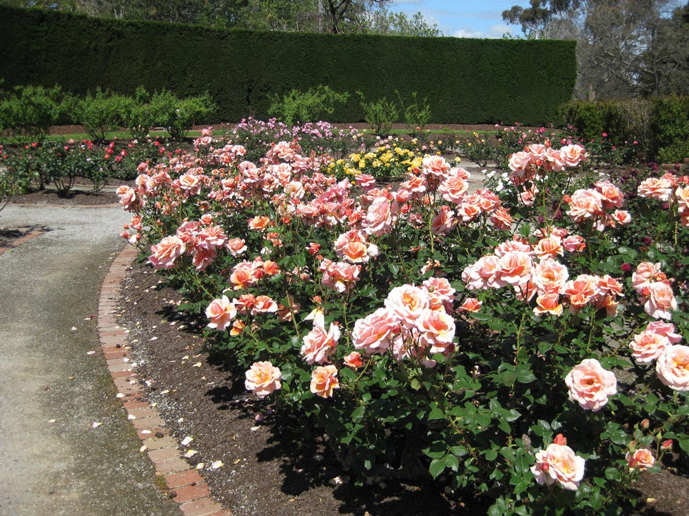 peach-coloured-roses