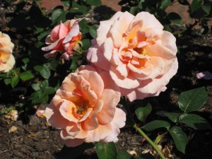 pinky-orange roses