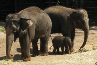 baby-elephant-mum-auntie1