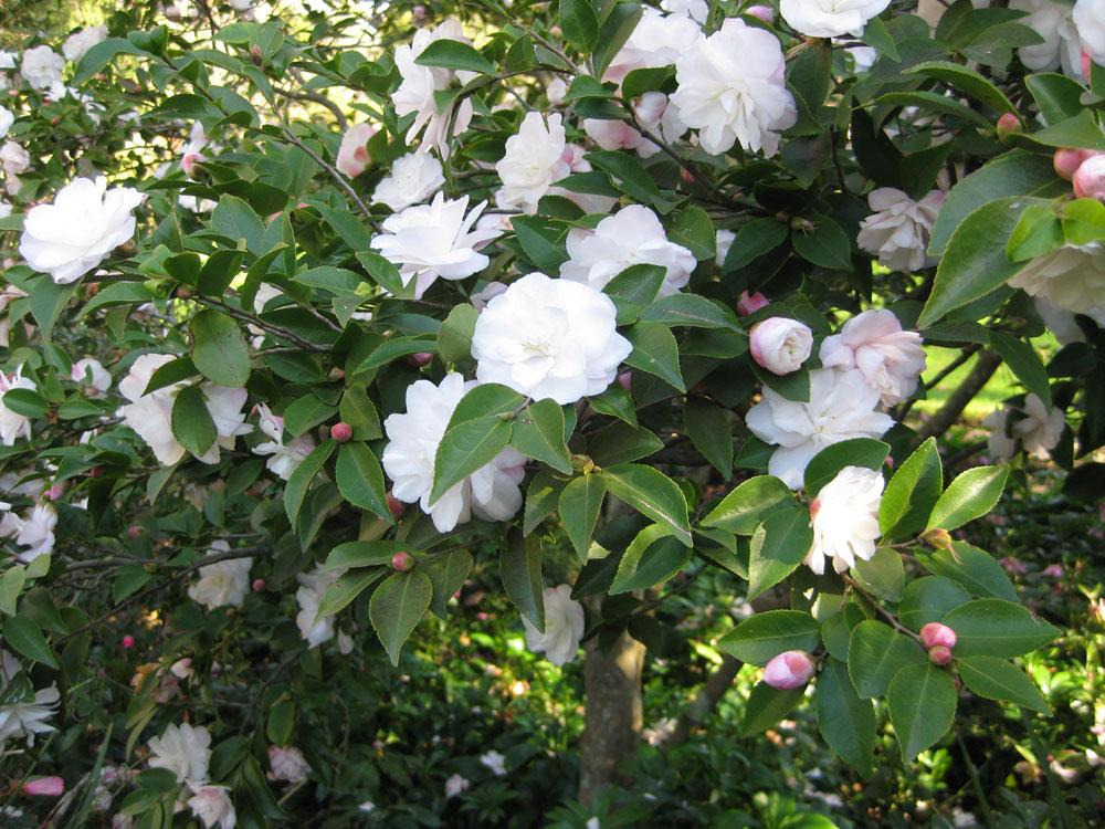 Camellia time at the royal melbourne botanical gardens is for Pianta camelia