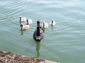 black-swan-family-swimming1