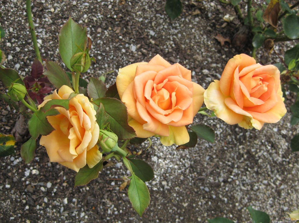 Apricot-Passion-rose