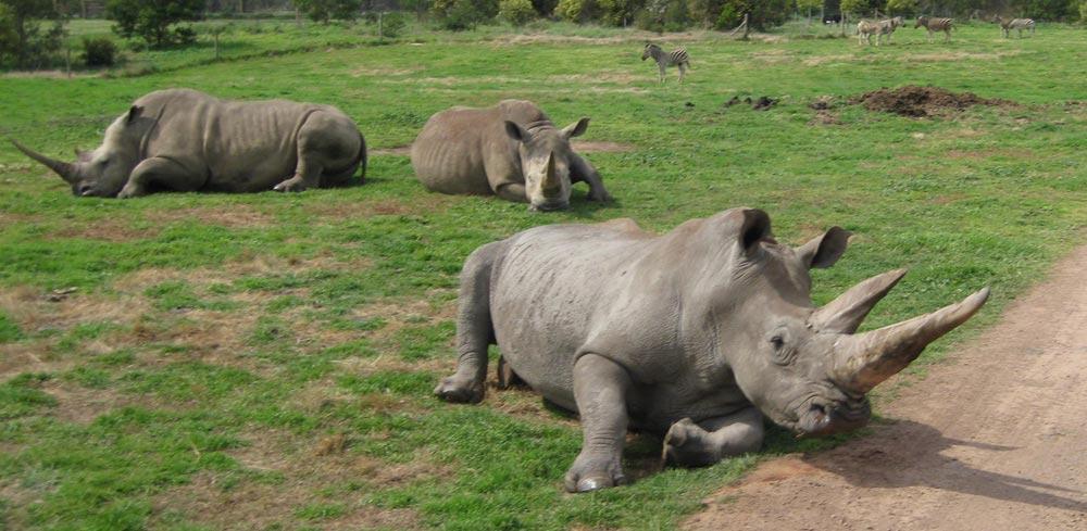 Rhino-and-Zebra