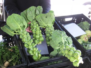 Brussel Sprouts as they grow