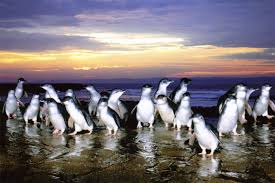 Penguins arriving on the beach