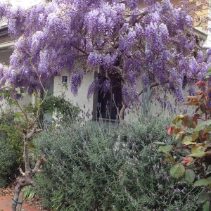 Wisteria and shading the lavender