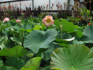Lotus flowers and seed heads
