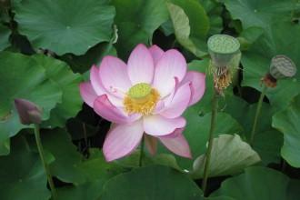 Pink-Lotus-&-seed-heads