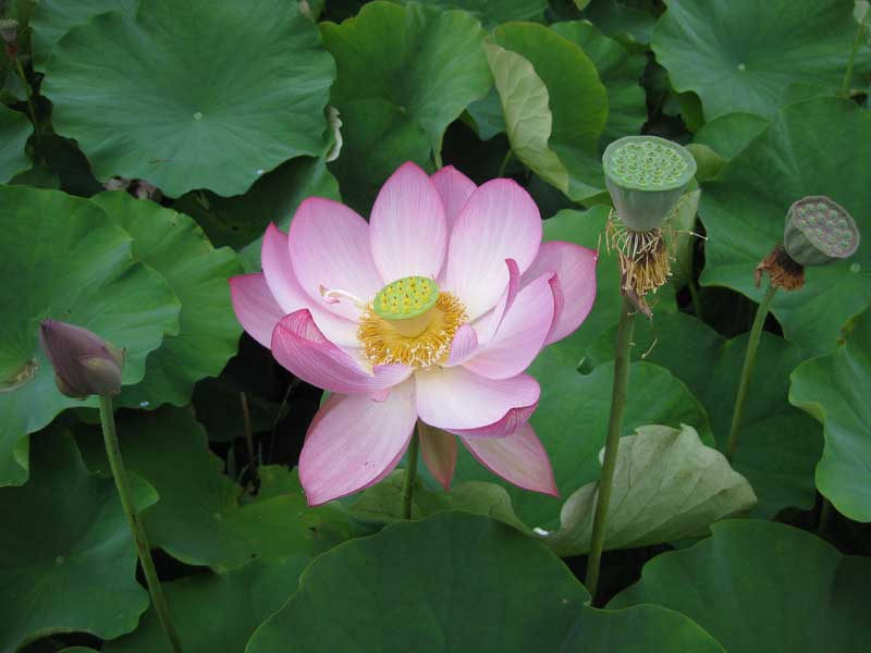 Blue Lotus Water Gardens at Yarra Junction | Melbourne Places