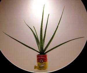 Aloe Vera in a Mackerel can
